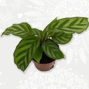 Calathea Freddie Baby Plant