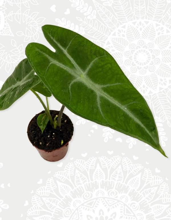 Alocasia Longiloba