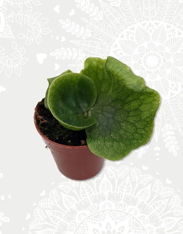 Platycerium Superbum Hershoorn baby plant