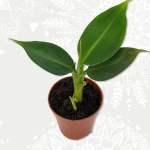 Musa Tropicana bananenplant