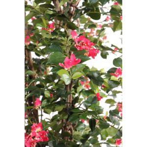 bougainvillier L fushia semi-artificiel zoom fleurs