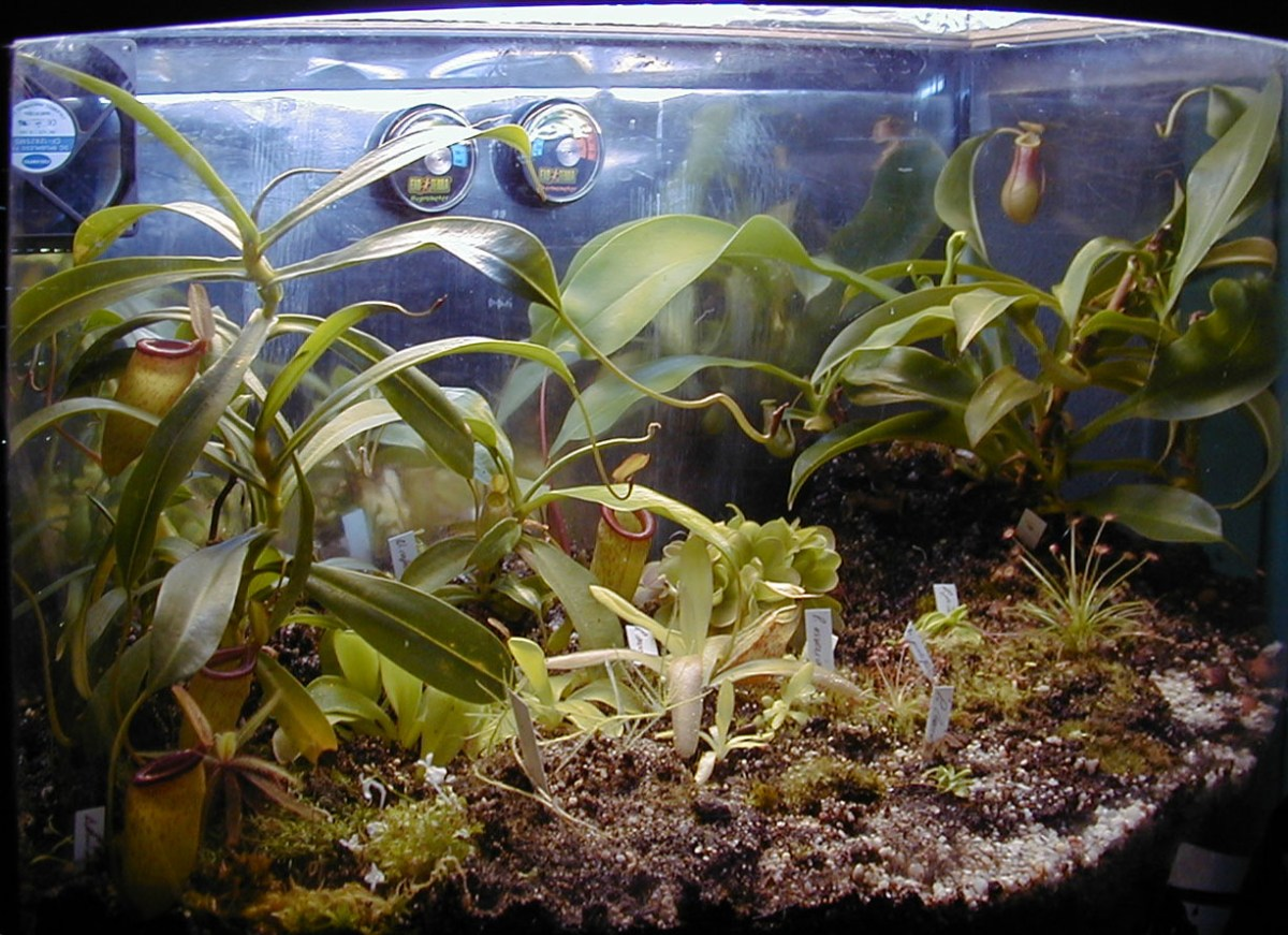 culture des plantes carnivores en int rieur plantes carnivores. Black Bedroom Furniture Sets. Home Design Ideas