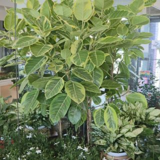 Large Floor Plants