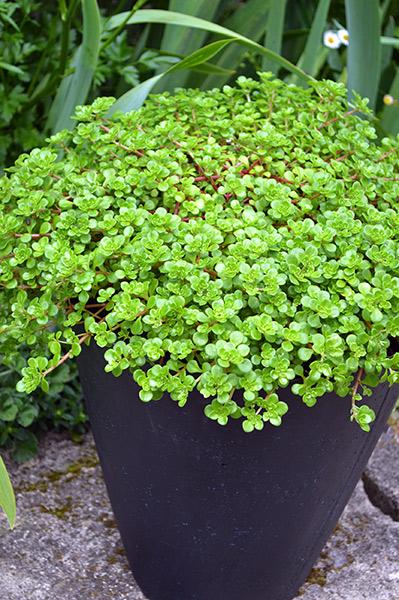 Sedum Green Blob