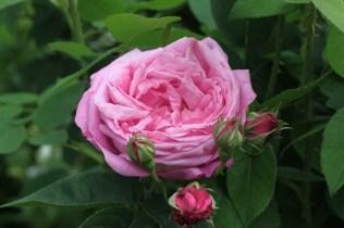 Rosa 'Coupe d'Hébé' Bourbon 1840