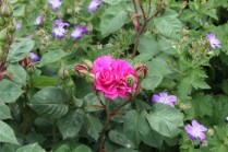 Rosa 'Sir Joseph Paxton'