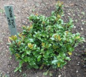 Ilex × meserveae Little Rascal = 'Mondo'