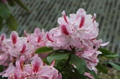 Rhododendron 'Furnivals Daugher'