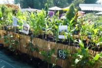 Tropique Production - Collection of Hedychium