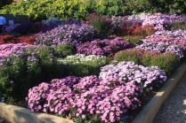 Stock beds of dwarf Asters