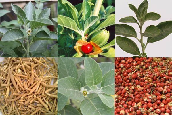 Ashwagandha (Withania somnifera) - Indoor herb garden