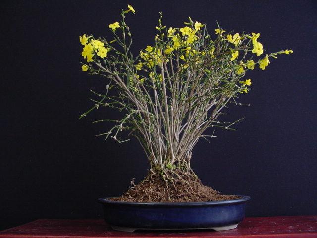 winter jasmine - Flowering plants