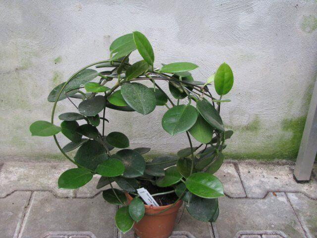 Hoya - Indoor House Plants