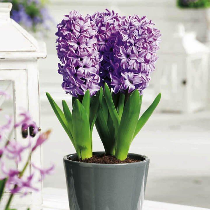 Hyacinth - Indoor House Plants