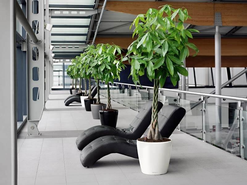 Money plant - Indoor House Plants