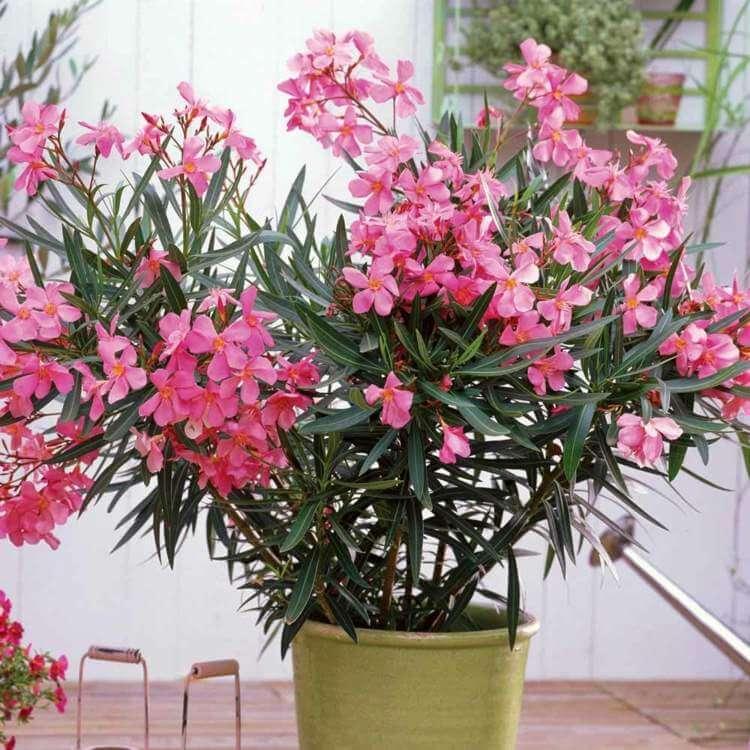 Oleander - Flowering plants
