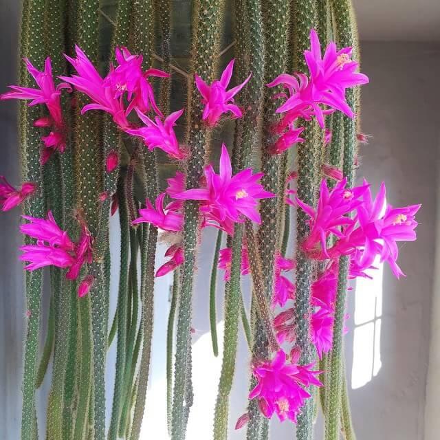 Rat tail cactus - Succulent plants