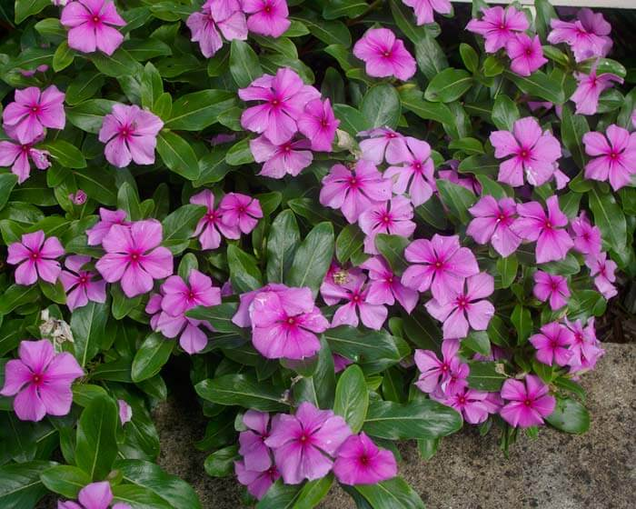 Catharanthus roseus - Flowering plants