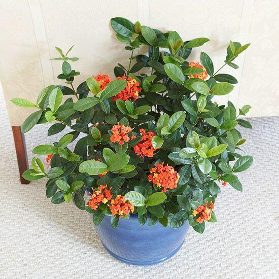 Ixora coccinea - Flowering plants