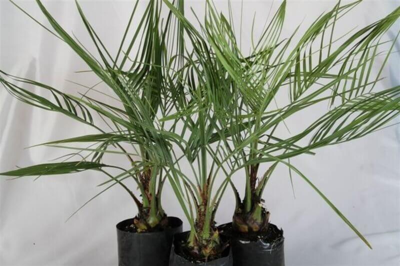 Jelly palm - House Plants