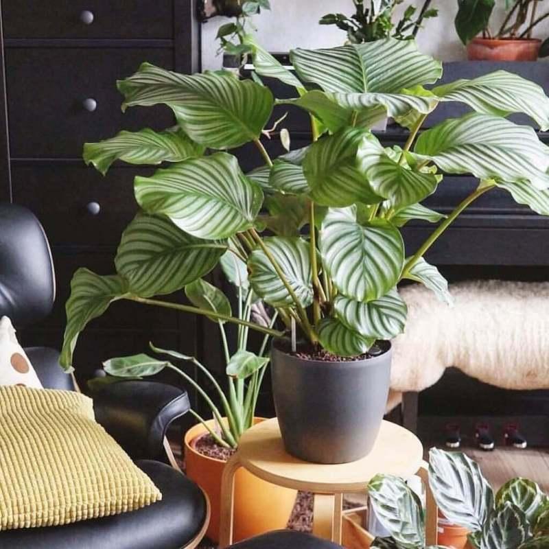 Prayer plant - Indoor House Plants