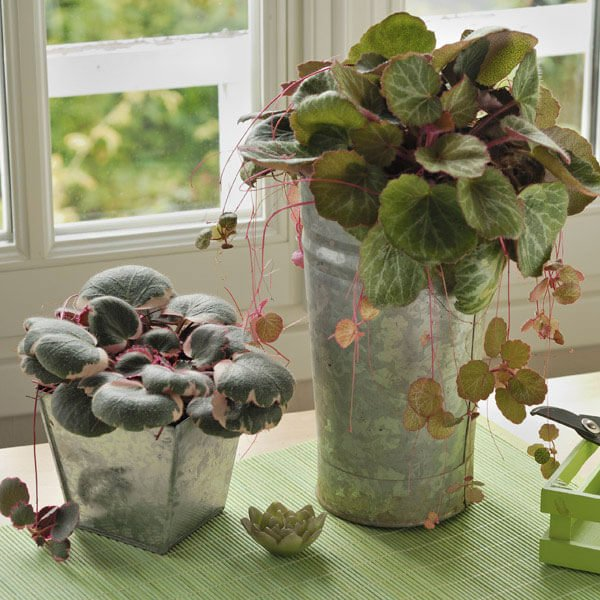 Saxifraga stolonifera - Indoor House Plants