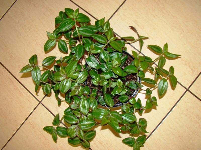 Wandering Jew - House Plants