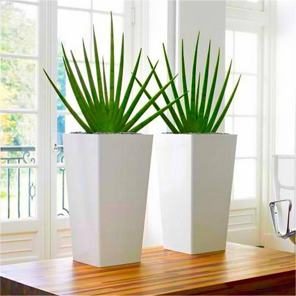 Sansevieria cylindrica - Indoor House Plants