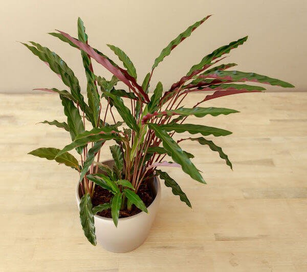 Calathea rufibarba - Indoor House Plants