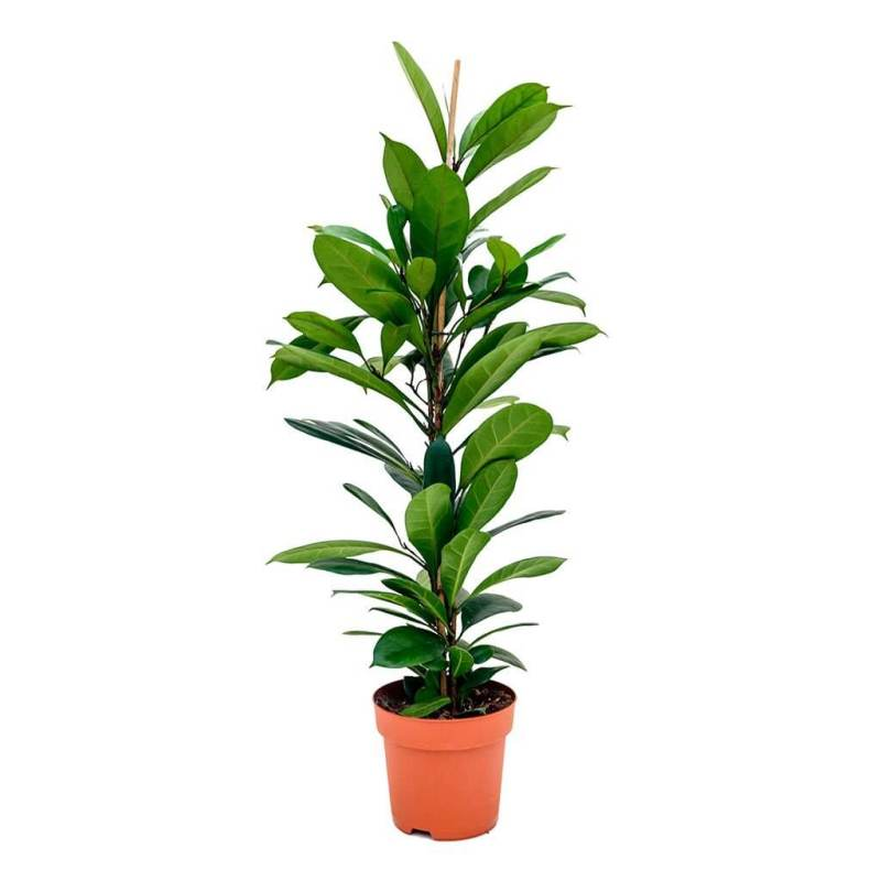 Ficus cyathistipula (African fig) - Air purifying plants
