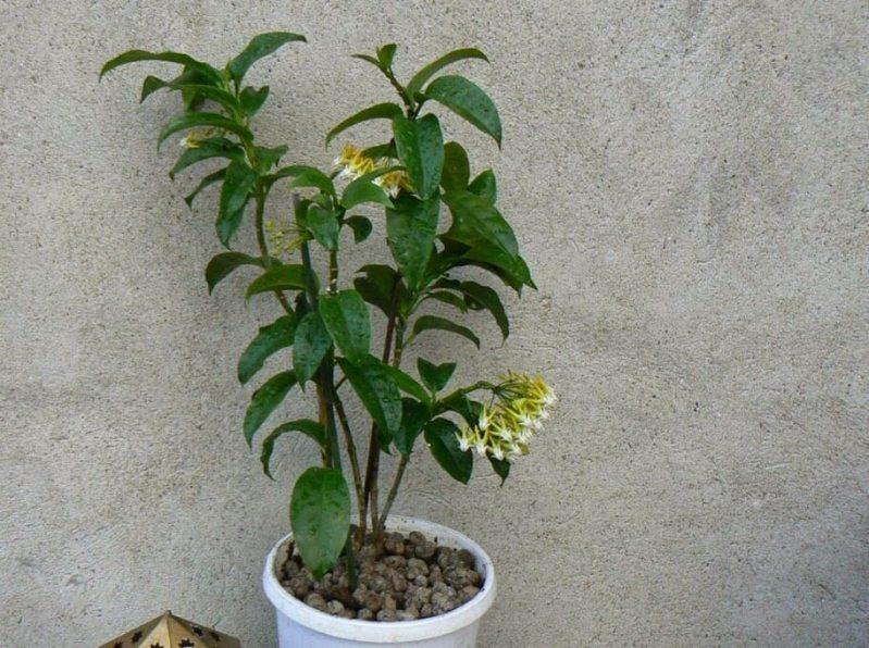 Hoya multiflora (Shooting Star Hoya) - Flowering plants