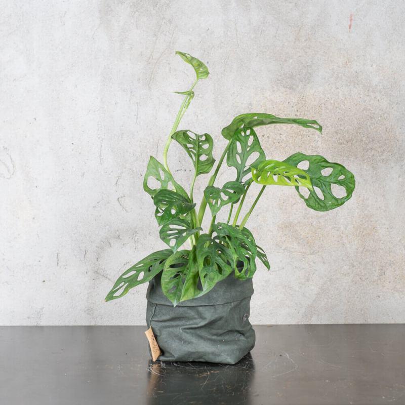 Monstera adansonii - Indoor House Plants