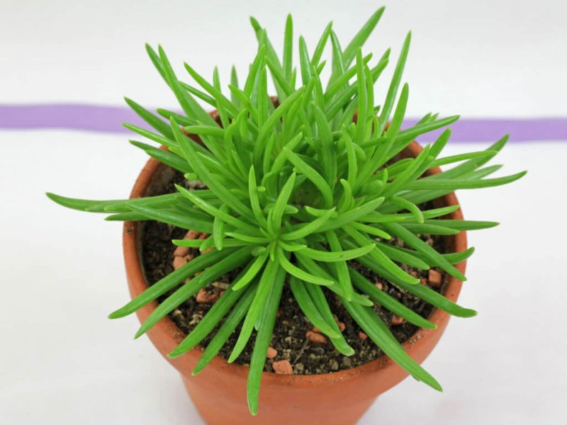 Senecio barbertonicus - Indoor House Plants