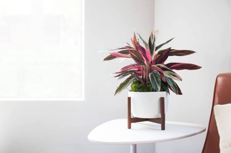 Stromanthe sanguinea Triostar - Indoor House Plants