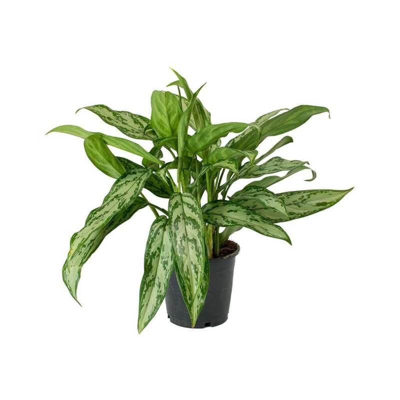 Aglaonema Maria Christina (Chinese Evergreen) - Indoor House Plants