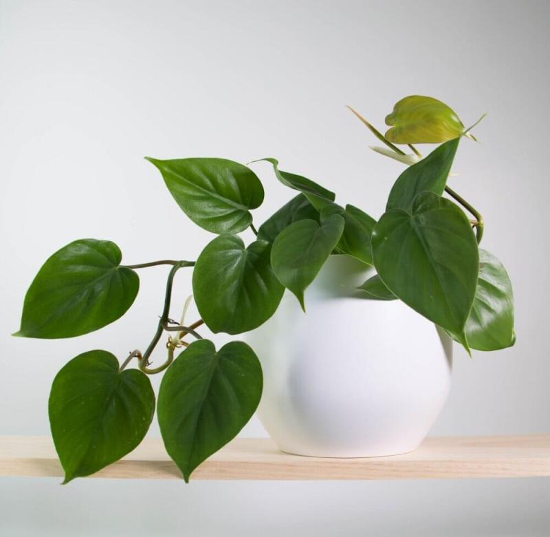 Heartleaf Philodendron - Indoor House Plants