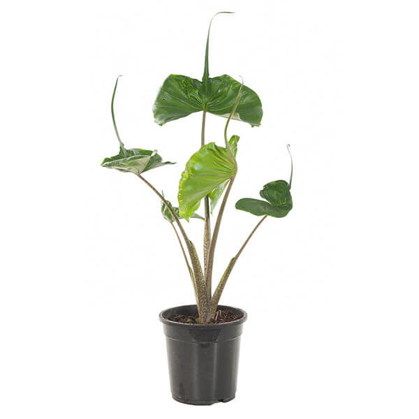 Alocasia macrorrhiza Stingray (Elephant Ear) - Indoor House Plants