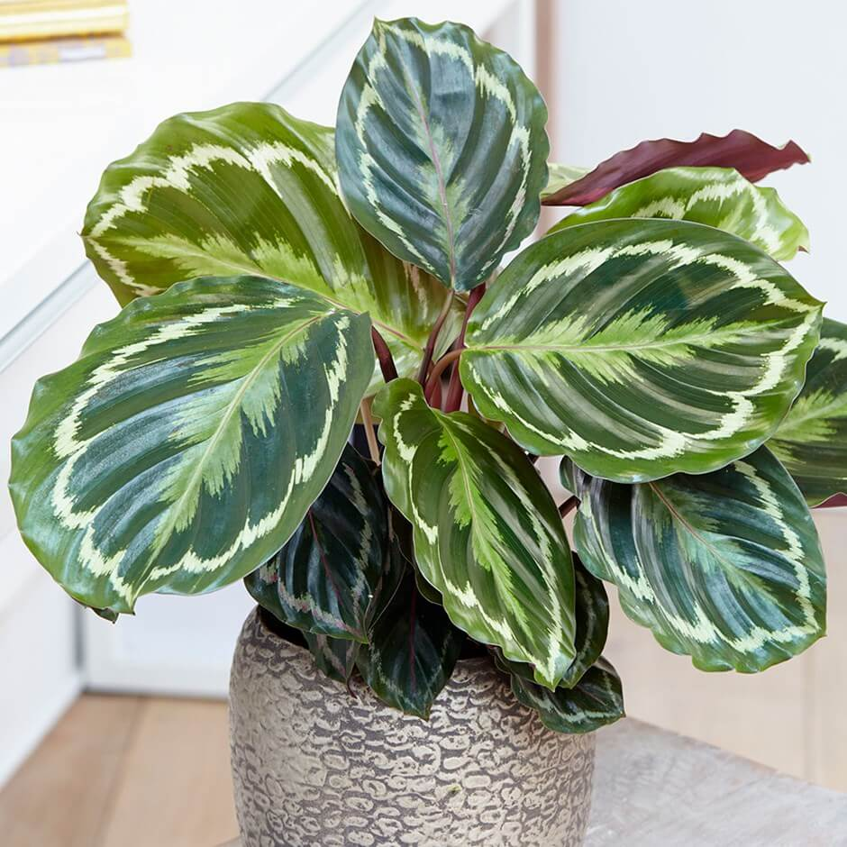 Calathea roseopicta Medallion - Indoor House Plants