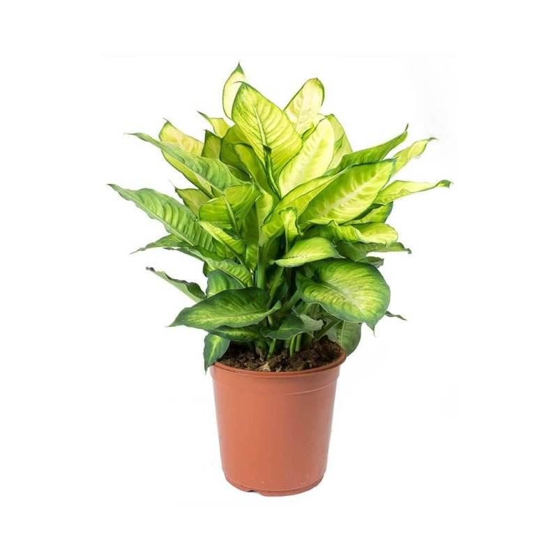 Dumb Cane (Dieffenbachia Summer Style) - Indoor House Plants