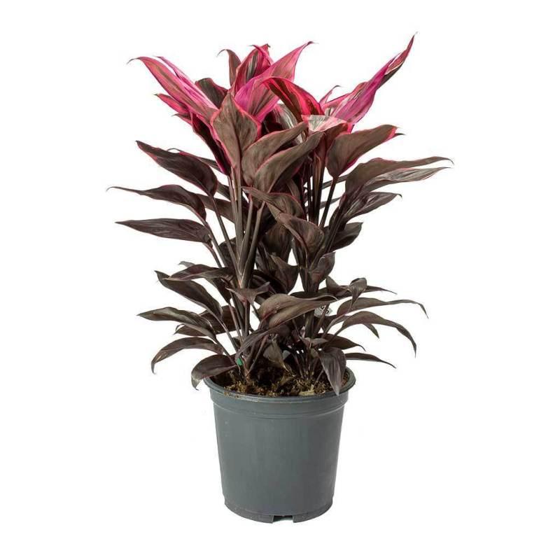 Good Luck Plant (Cordyline fruticosa Mambo) - Indoor House Plants