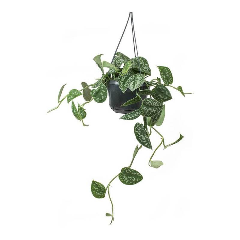 Epipremnum pictum Argyraeus (Satin Pothos) - Indoor House Plants