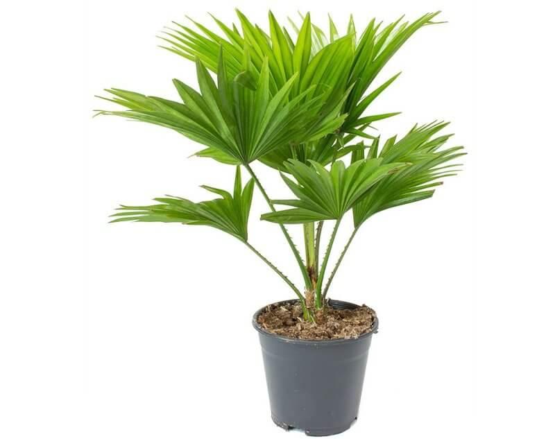 Livistona rotundifolia (Table palm) - Indoor House Plants