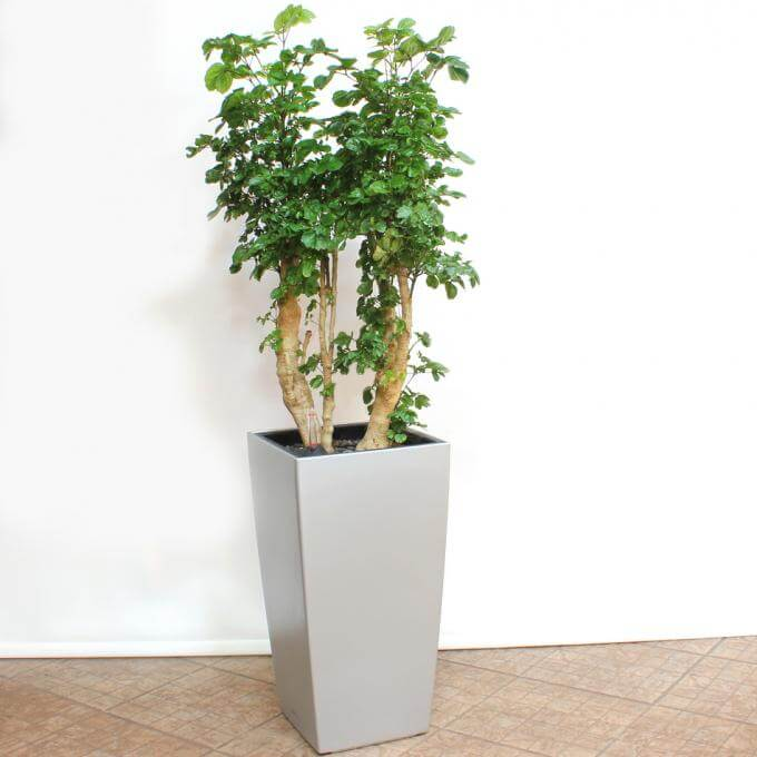 Polyscias Roble (Aralia Roble) - Indoor House Plants