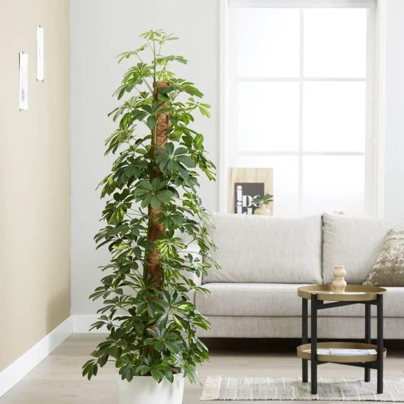 Dwarf umbrella tree   Schefflera arboricola Gold Capella - Indoor Plants