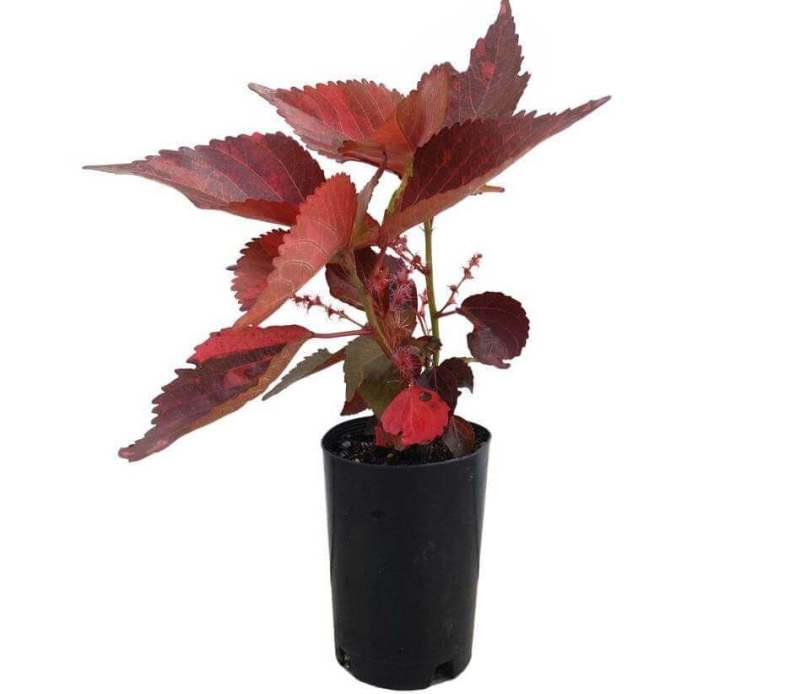 Copper leaf plant | Acalypha wilkesiana - House Plants