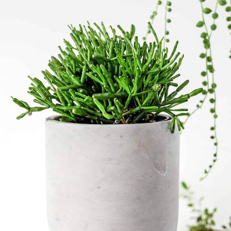 Rhipsalis Cereuscula Rice cactus