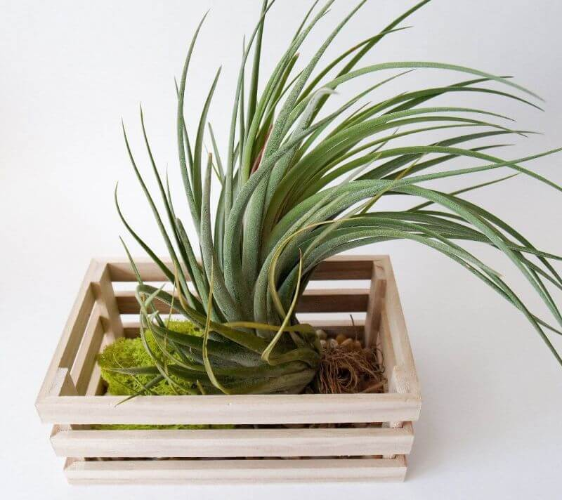Tillandsia fasciculata (Giant Airplant) - Indoor Plants