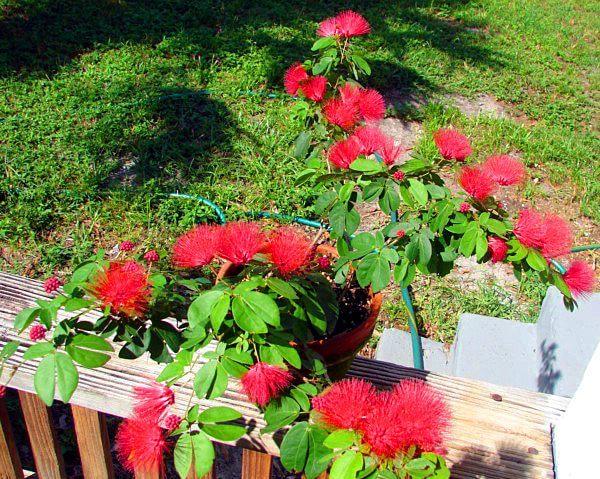 Powder Puff Tree (Calliandra haematocephala) - Flowering plants
