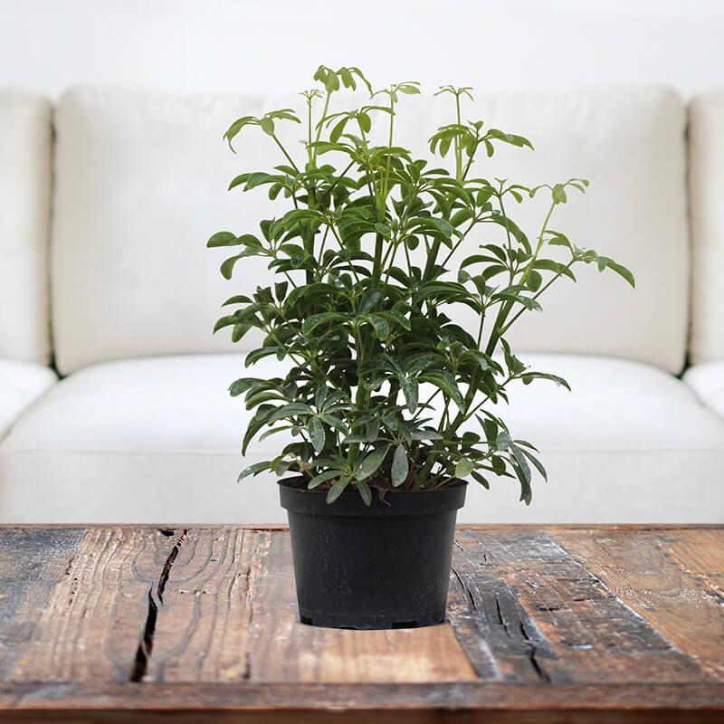 Schefflera - Indoor Plants