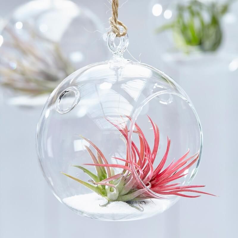 Air Plant (Tillandsia ionantha) - Flowering plants